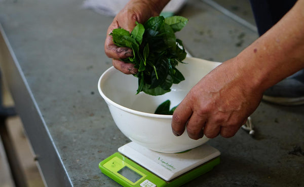 Man weighs fresh green tea leaves in bowl on digital scale