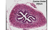 Canine Ureter at 250um with the uScopeMXII-60 Digital Microscope Slide Scanner