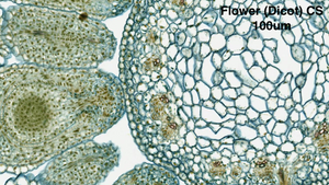 Flower (Dicot) CS at 100um with the uScopeMXII-60 Digital Microscope Slide Scanner