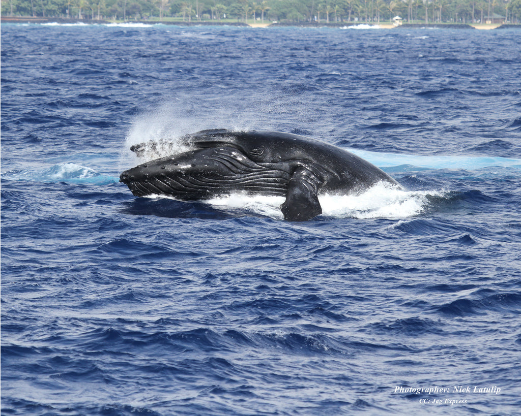 ATLANTIS CRUISES TO LAUNCH DAILY WHALE WATCH CRUISES