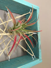 Air plant holder made from reclaimed wood, Air plant display