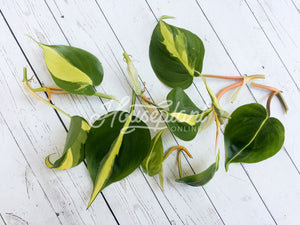 Brasil Philodendron CUTTINGS Philodendron Hederaceum Plant Cuttings