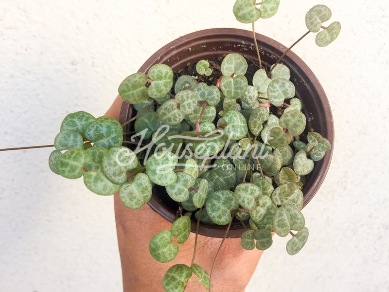 Ceropegia Woodii (Non-Variegated) String of Hearts