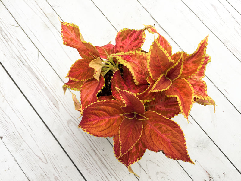Coleus Fairway Orange