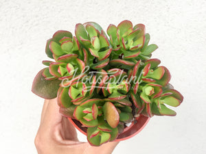 Crassula Ovata Red Tip (Mini Jade Plant)