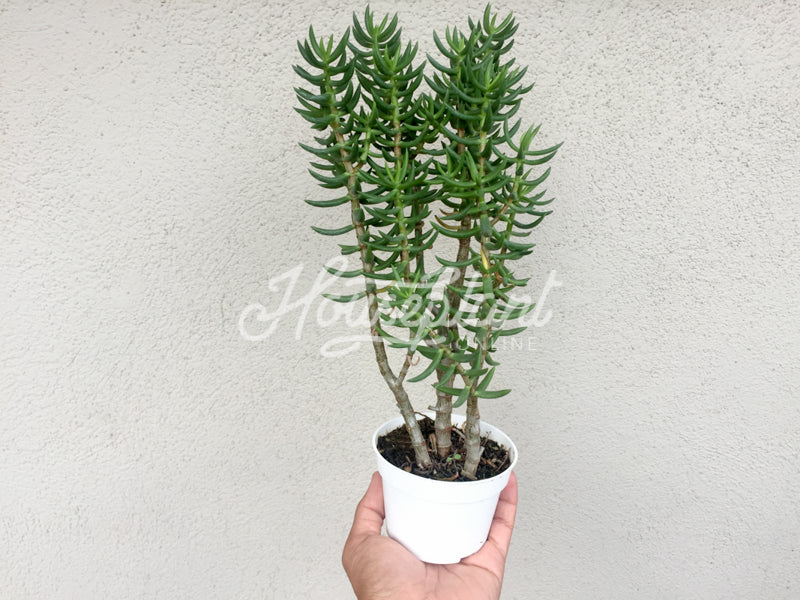 Crassula Tetragona (Miniature Pine Tree)