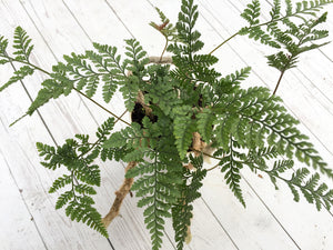 Rabbit's Foot Fern