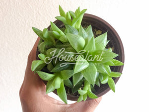 Haworthia Star Window