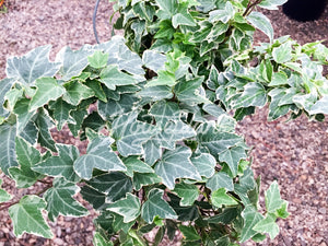 Hedera Helix Variegated English Ivy