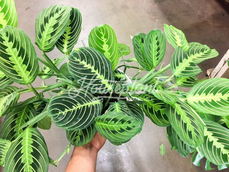 Maranta Lemon Lime Green (Prayer Plant)