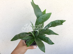 Platycerium Plant French Staghorn Fern