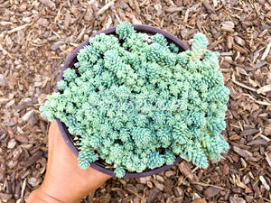 Sedum Dasyphyllum (Blue Surprise)