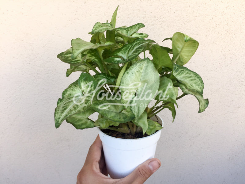 Syngonium White Butterfly (White Butterfly Arrowhead Plant)