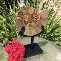 "11"" Ammonite on Stand"