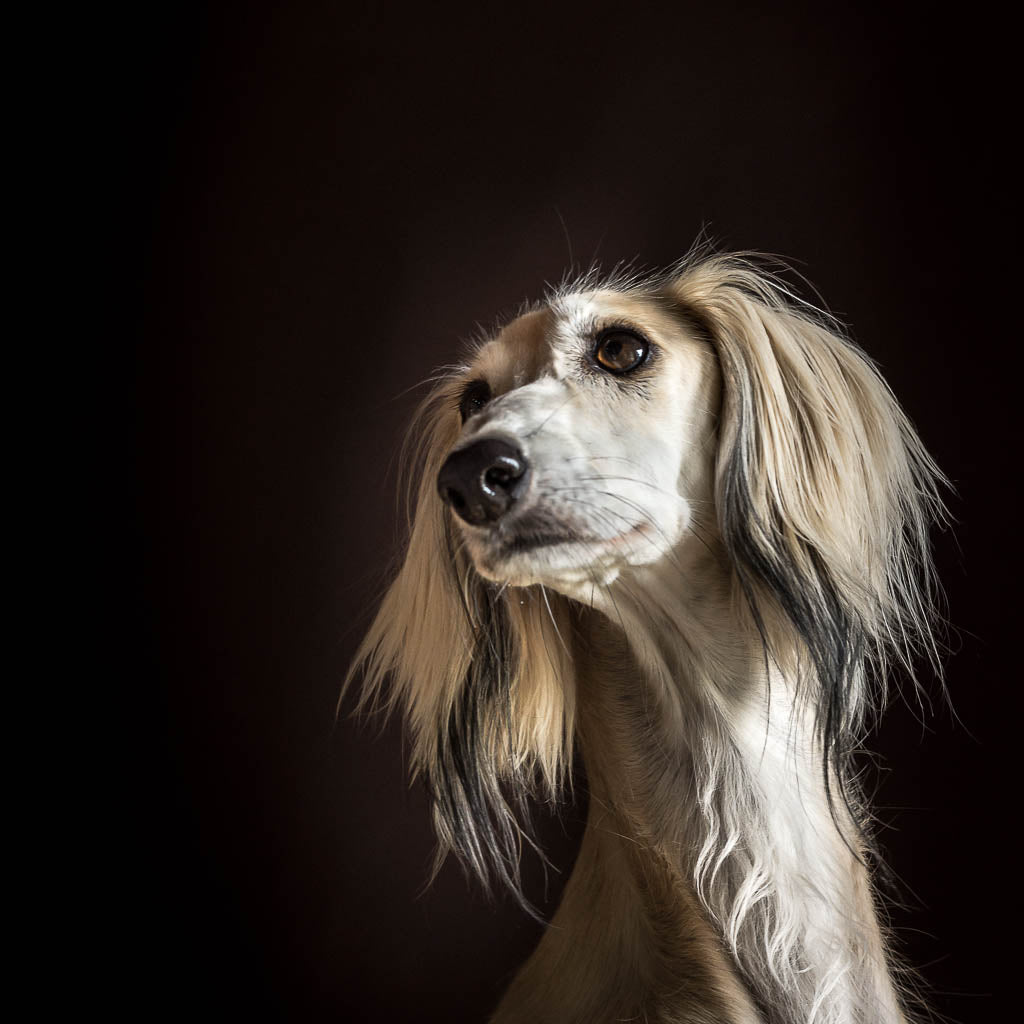 Dog Portrait - Photograph of Aliya