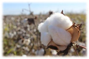 Where does our cotton come from and why is it so good?
