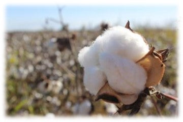 We grow our own cotton