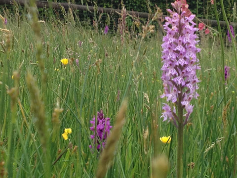 Wild orchids grow in our hay meadows