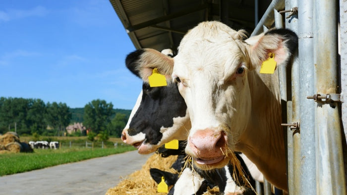 Hot topic: Managing heat stress in dairy cows
