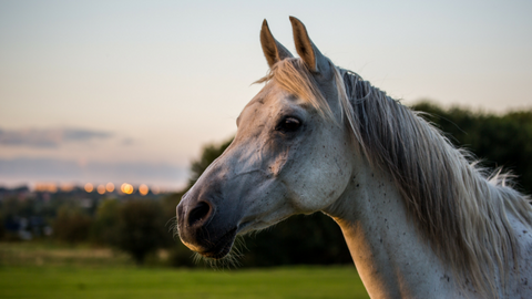 Equine Supplements for Senior Horses