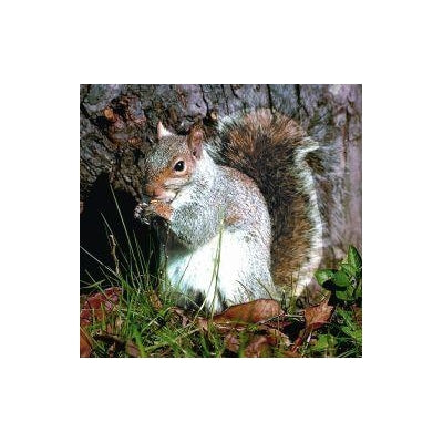 Animal Essences Squirrel (eekhoorn) 30 ml