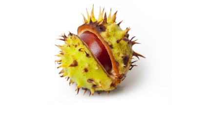 HORSE CHESTNUT SEED