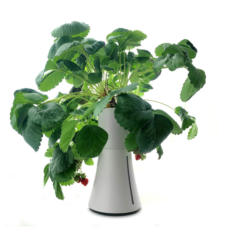 smart pot strawberries
