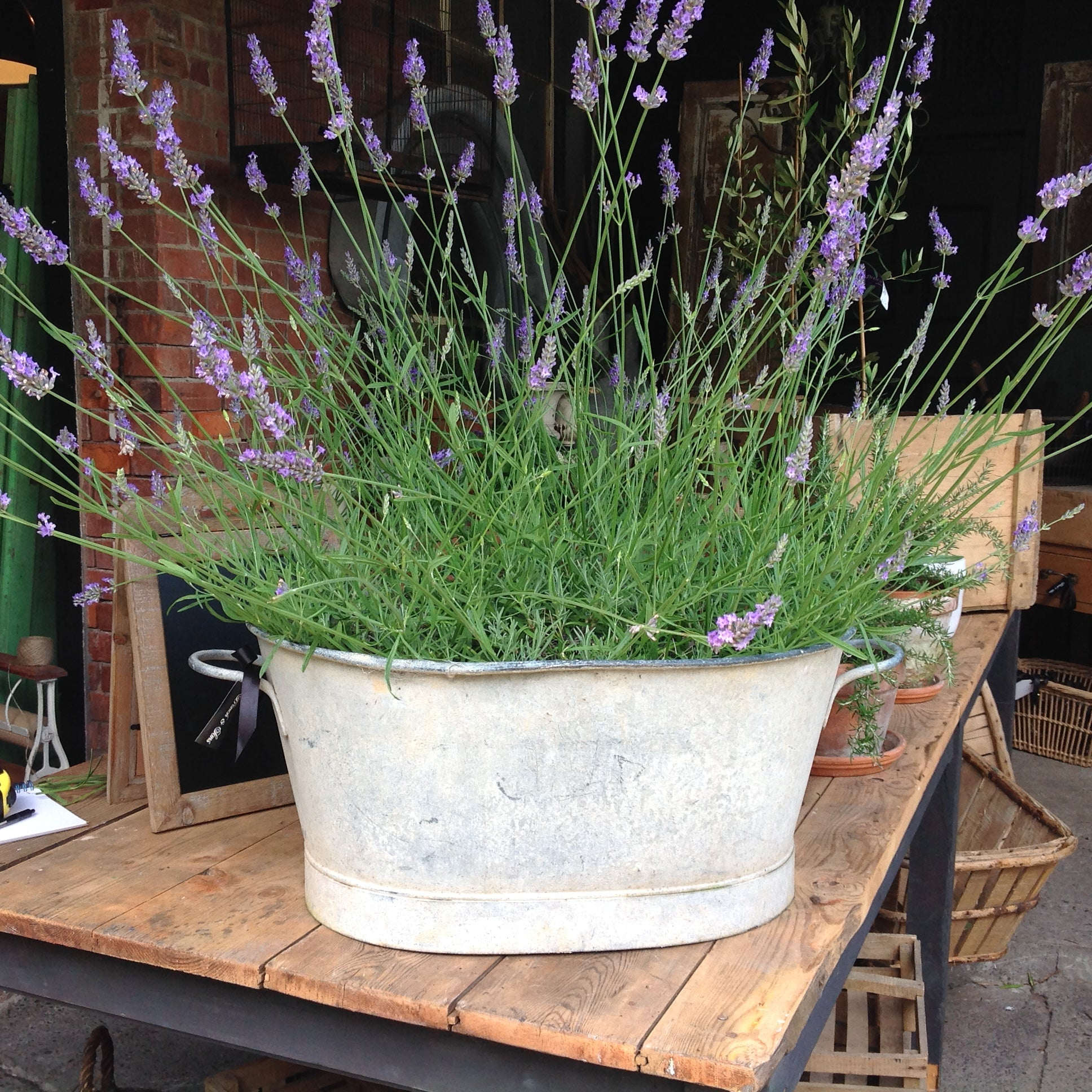 Potted Lavender & Topiary Trees In French Zinc