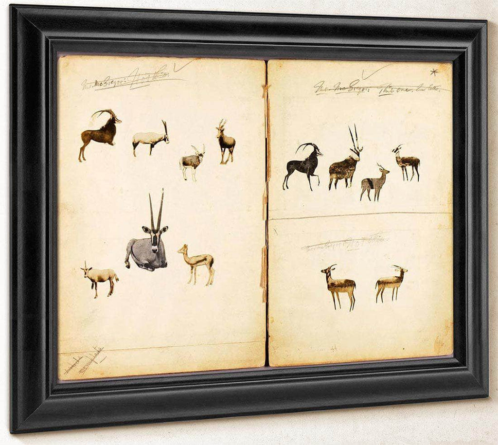 Antelopes, Study Folder For Book Concealing Coloration In The Animal Kingdom By Abbott Handerson Thayer
