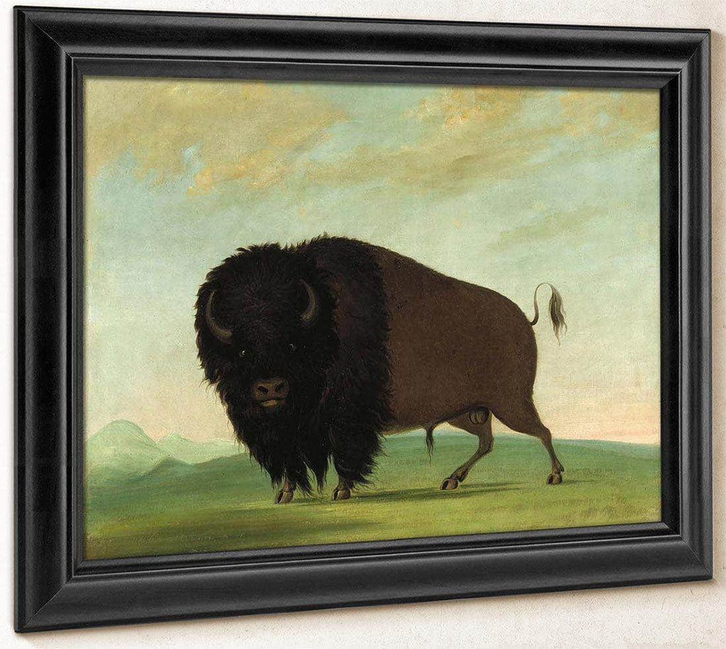 Buffalo Bull, Grazing On The Prairie By George Catlin