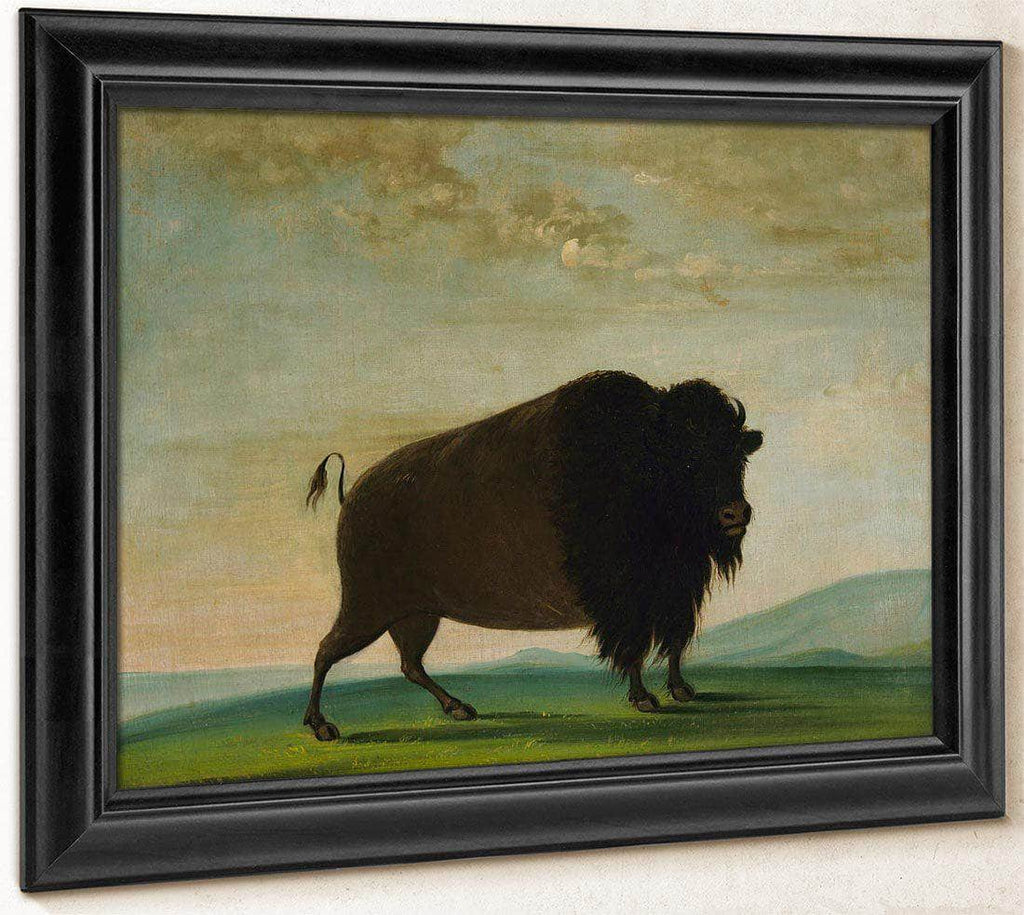 Buffalo Cow, Grazing On The Prairie By George Catlin