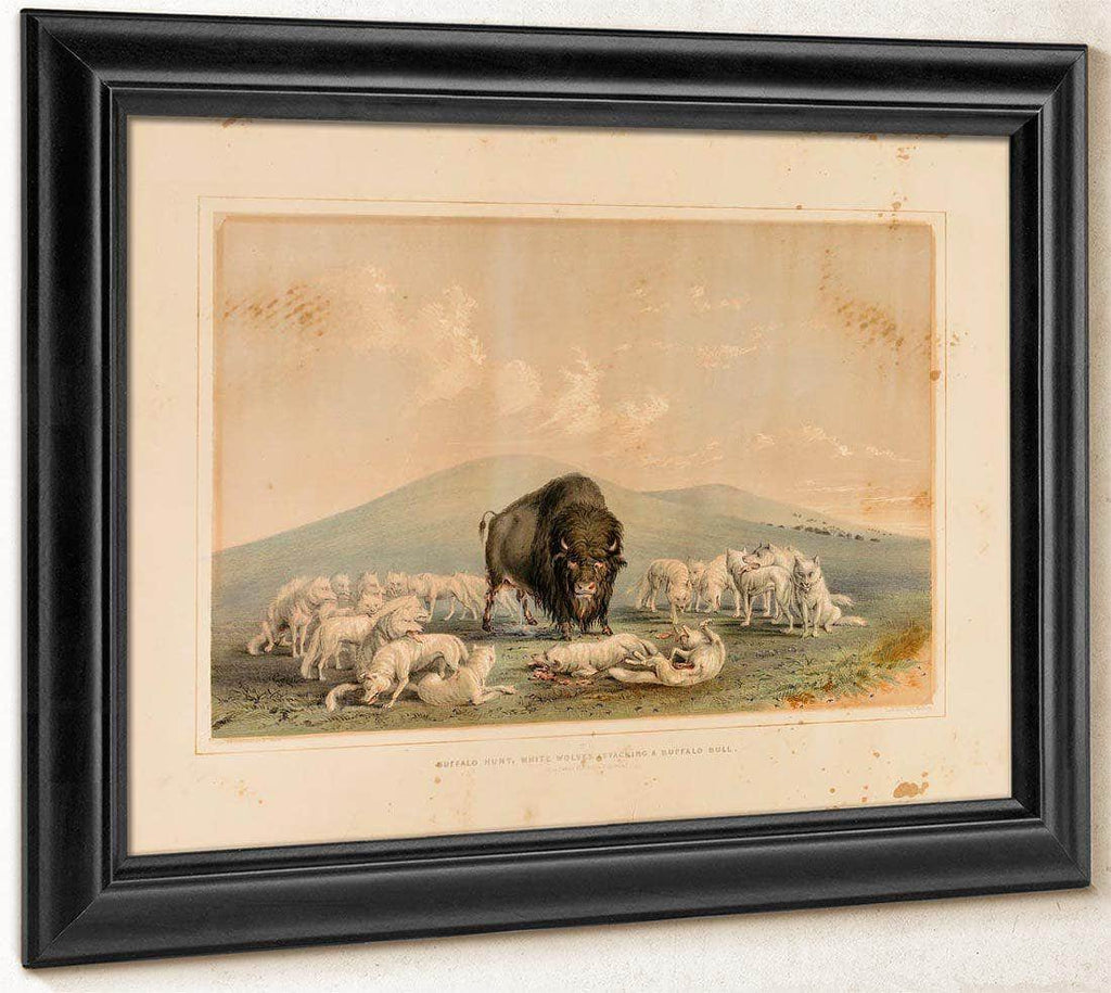 Buffalo Hunt, White Wolves Attacking A Buffalo Bull  No. 10 By George Catlin