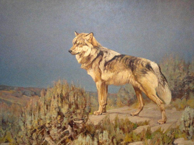 Grey Wolf Standing On A Bluff By Carl Rungius
