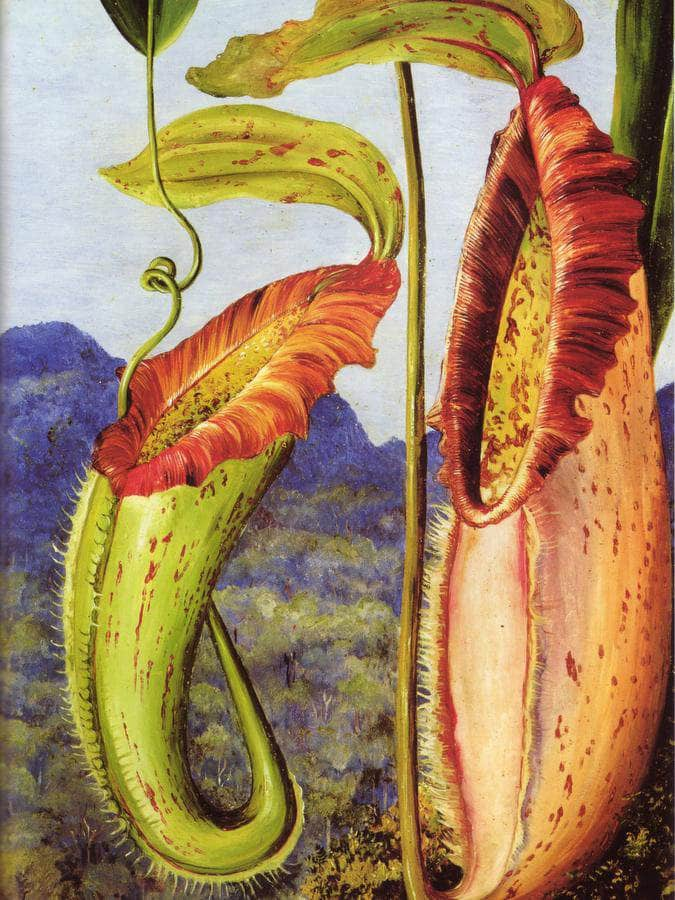 Nepenthes Northiana By Marianne North