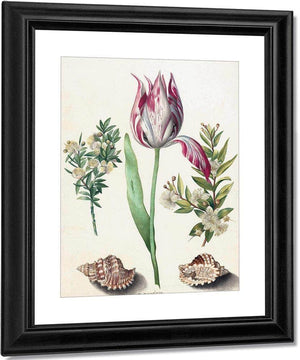 Tulip Two Branches Of Myrtle And Two Shells 1700 By Maria Sibylla Merian