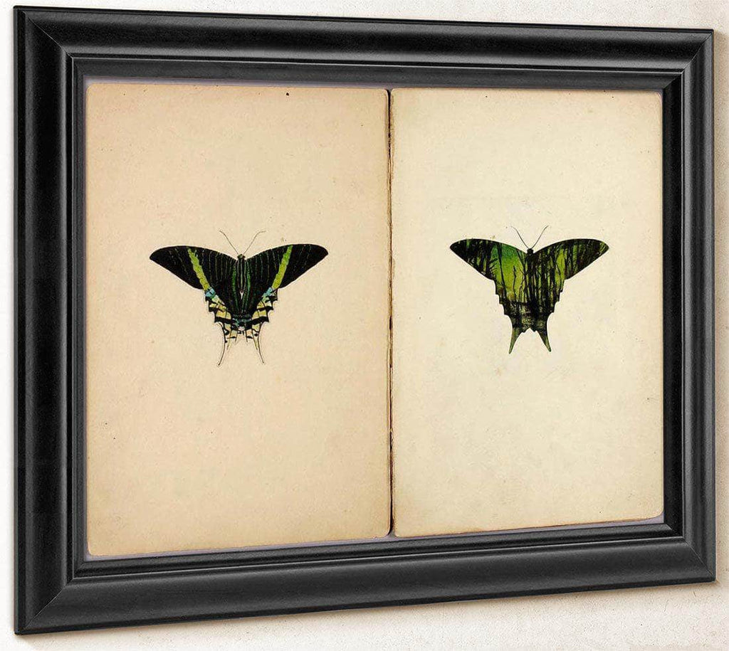 Urania Moth, Study Folder For Book Concealing Coloration In The Animal Kingdom By Abbott Handerson Thayer