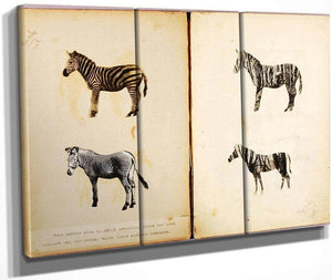 Zebras, Study Folder For Book Concealing Coloration In The Animal Kingdom By Abbott Handerson Thayer