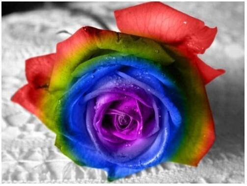 Ultra-Rare Rainbow Rose Seeds - 100 Seed Pack - Cherry & Oak