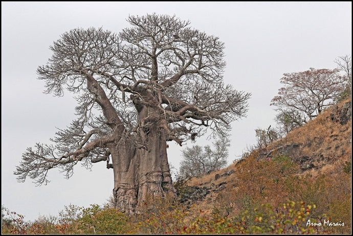 Baobab Tree in Autumn