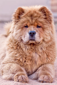 Chow Chow Puppy Canvas