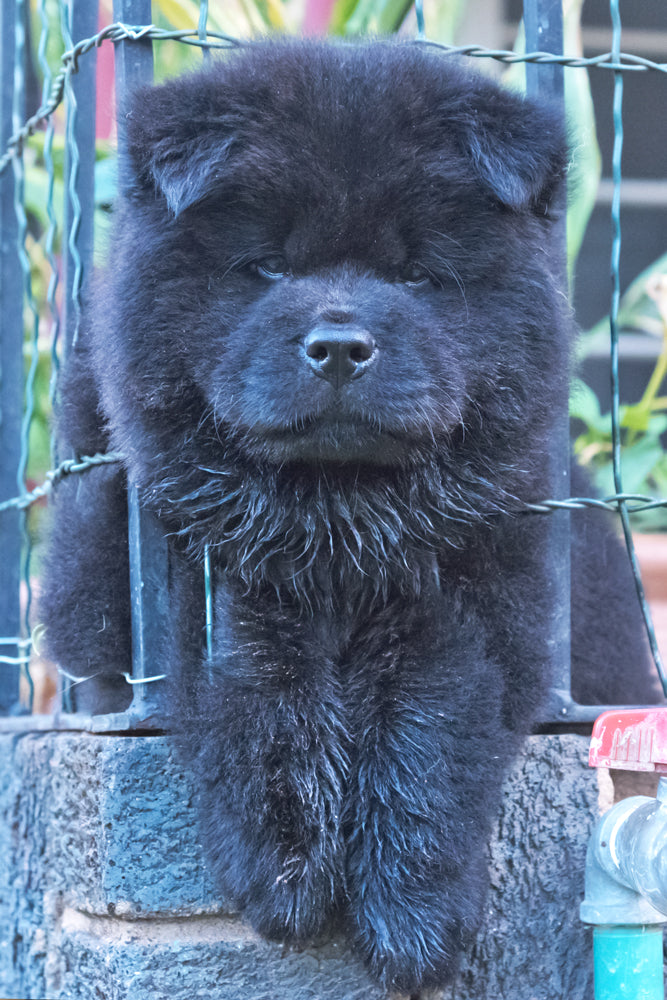 Black Chow Chow Puppy Canvas
