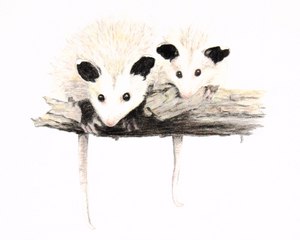 Opossum Pair - Limited Edition Print