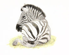 Zebra at Rest - Limited Edition Print