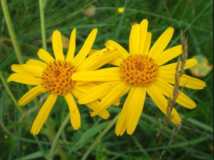 Arnica montana and its many benefits