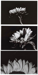Clodagh O'Leary, Sunflower Triptych