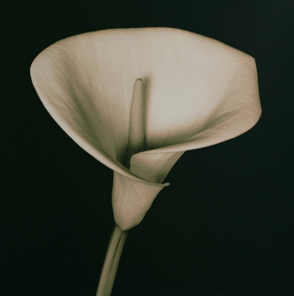 Arum Lily, Brian McIlveny (Unframed) - The Library Project