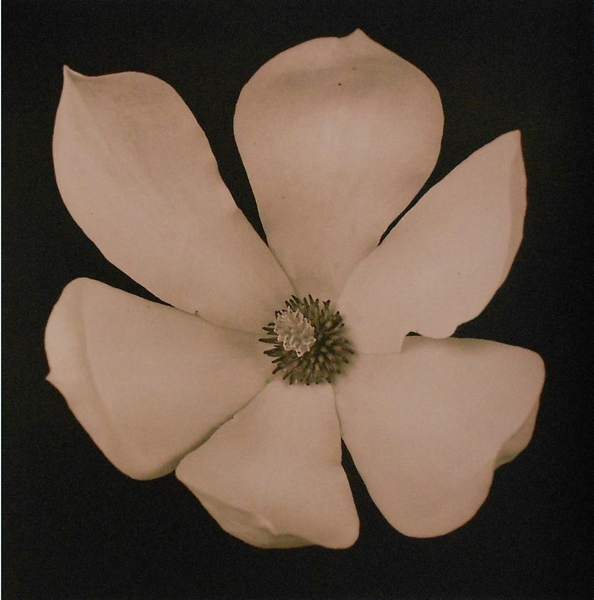 Magnolia, Brian McIlvenny (Unframed) - The Library Project