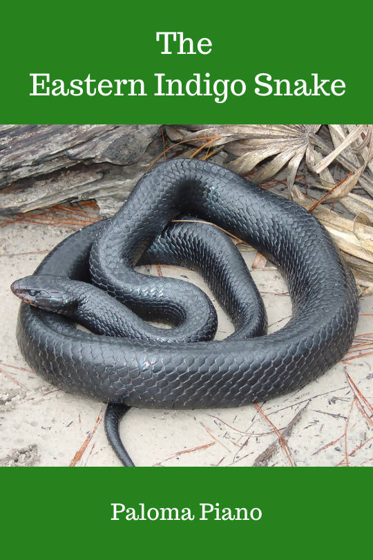 The Eastern Indigo Snake