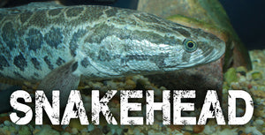Snakehead Fishing In South Florida