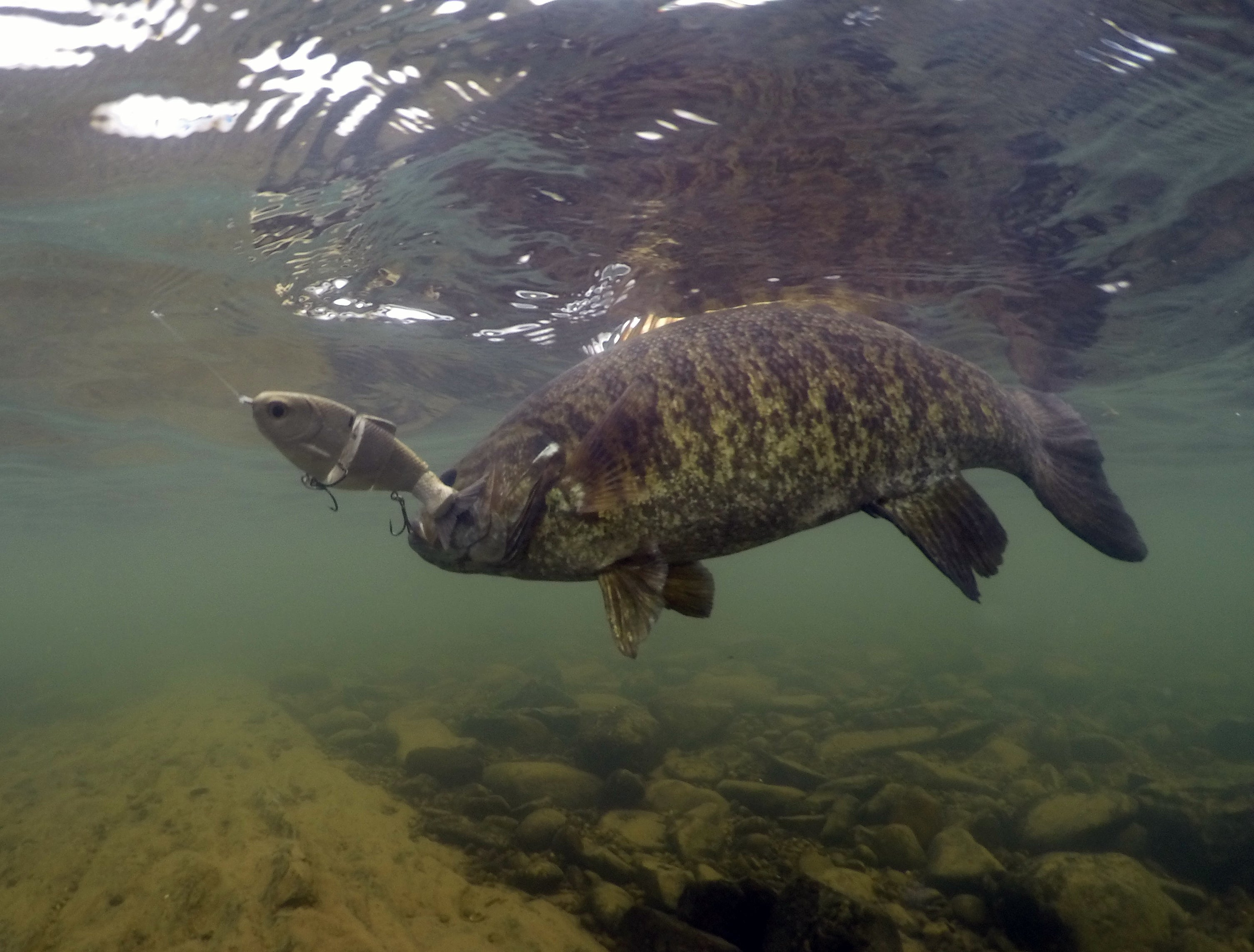 Bull Shad Underwater Smallmouth